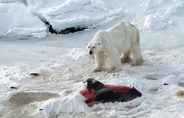 हे आहेत ग्लोबल वॉर्मिंगचे भयावह PHOTOS, अस्वल खातोय डॉल्फिन|देश,National - Divya Marathi