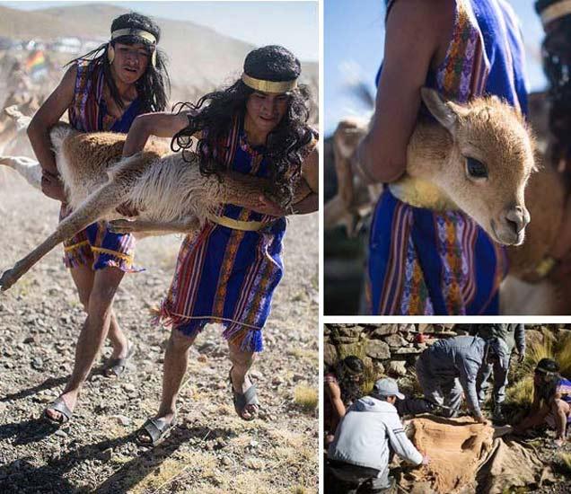 PHOTOS: प्राण्यांना पकडून हे लोक असे साजरा करतात विचित्र फेस्टिव्हल| - Divya Marathi