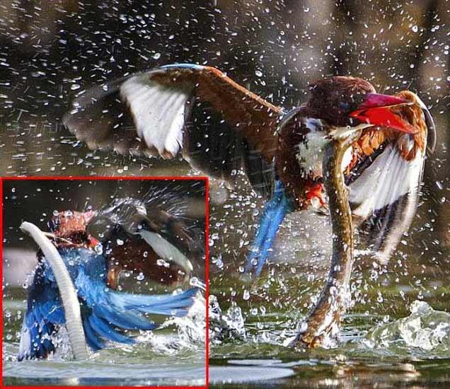 PHOTOS: पुण्याच्या फोटोग्राफरने कैद केली साप आणि पक्ष्यामधील अशी फाइट|देश,National - Divya Marathi