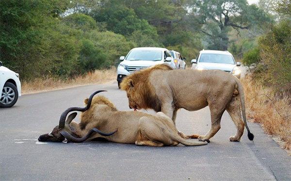 थरारक दृश्य: रस्त्यावर कारच्या मधोमध दोन सिंहांनी क्रूरतेने केली हरणाची शिकार|देश,National - Divya Marathi