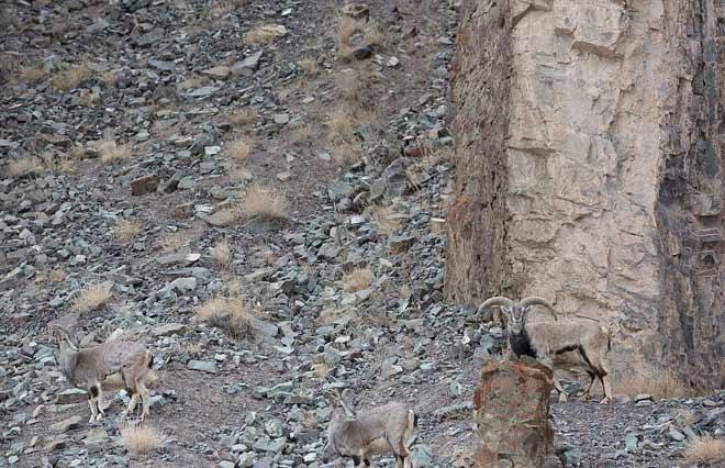 PHOTOS: हिमालयात समोर आला हा दुर्मिळ चित्ता, मोठ्या चतुराईने करतो शिकार| - Divya Marathi
