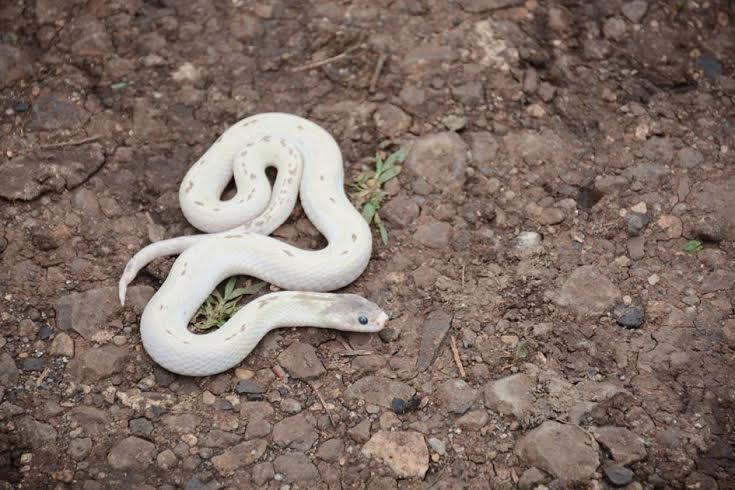अमरावतीत आढळला अत्यंत दुर्मिळ साप, पाहा फोटो नागपूर,Nagpur - Divya Marathi