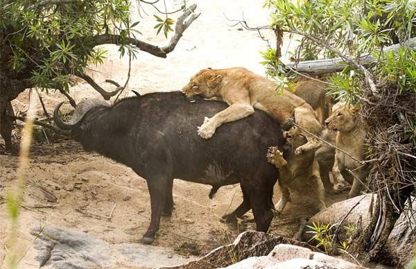 PHOTOS: एकाचवेळी 5 सिंहांनी केला म्हशीवर हल्ला, मात्र शिकार करू शकले नाही| - Divya Marathi