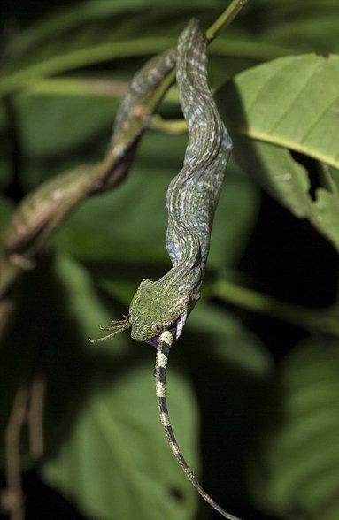 AMAZING PHOTOS: 2 मीटर लांब सापाने अर्धा तासात गिळंकृत केला सरडा  - Divya Marathi