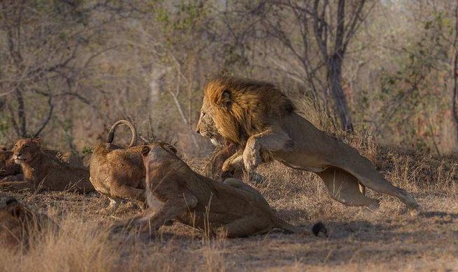 शिकार खाण्यासाठी सिंहांमध्ये अशी जुंपली, कैद झाले PHOTOS| - Divya Marathi