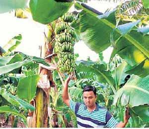 सोयगावात शेतकरी घेताहेत केळीचे विक्रमी उत्पादन; केळीच्या उत्पादनातून लाखों रुपयांची उलाढाल|ओरिजनल,DvM Originals - Divya Marathi