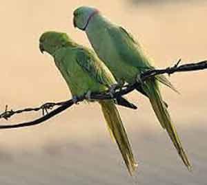 जळगावात होत आहे  छुप्या पद्धतीने पोपटांची विक्री, नऊ पोपटांची केली सुटका|जळगाव,Jalgaon - Divya Marathi