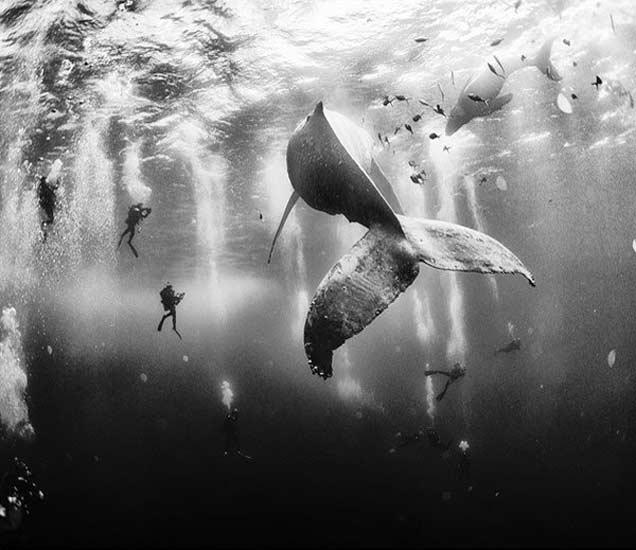 प्रथम पारितोषिक - रोका पार्टिडा आयलंड जवळच्या समुद्रात महाकाय व्हेल आणि त्यांच्या पिलांसह डायव्हींग करणारे डायव्हर्स. फोटो - अनुअर पातजेन फ्लोरिउक. - Divya Marathi