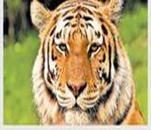 दोन वर्षांत १४ बछड्यांचे झाले १३ वाघ, प्राण्यांच्या सुरक्षेसाठी ड्रोन कॅमेऱ्याचा होणार उपयोग नागपूर,Nagpur - Divya Marathi