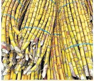 पन्नास हजार कोटींवर संपाची टांगती तलवार, पवार- मुंडे गटांत रस्सीखेच|अहमदनगर,Ahmednagar - Divya Marathi