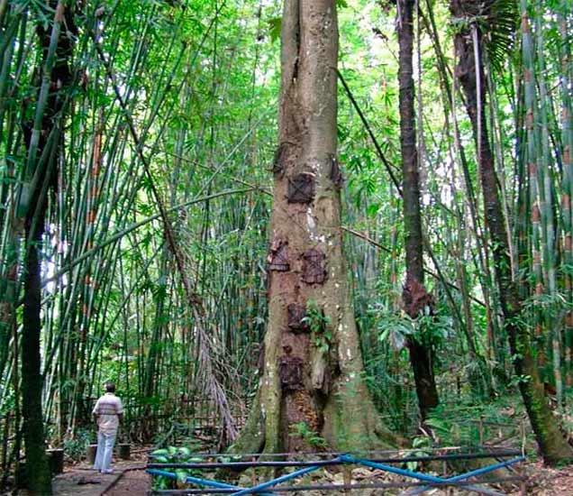 या झाडात दफन केली जातात गावातील लहान मुले, विचित्र आहे ही परंपरा  - Divya Marathi