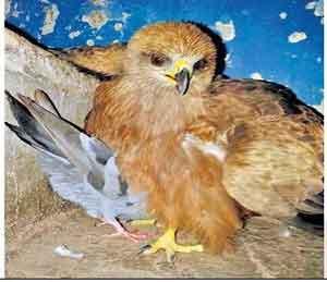 फटाक्यांमुळे १० पक्षी आढळले जखमी अन् भेदरलेले सोलापूर,Solapur - Divya Marathi