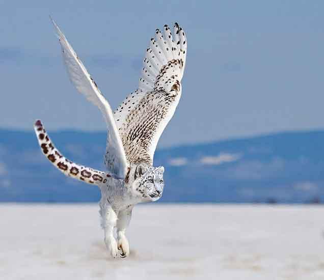 The Snowy Owlpard - Divya Marathi