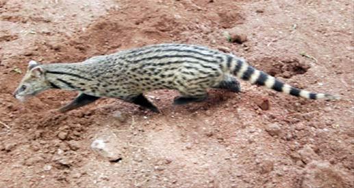 दुर्मिळ उद मांजर रोडवर आढळले मृतावस्थेत, बघ्यांनी केली गर्दी नागपूर,Nagpur - Divya Marathi