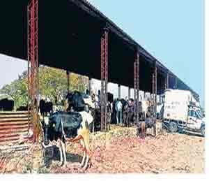 चारा, छावण्या नाहीत नसल्यामुळे शेतकरी दुभती जनावरे विकताहेत कसायांना|सोलापूर,Solapur - Divya Marathi