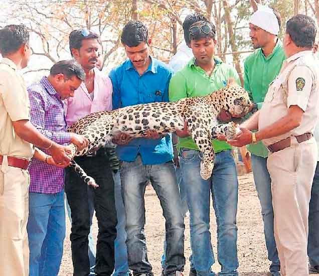एरंडाेल तालुक्यातील रवंजा शिवारात शिकाऱ्याने जंगली डुकरे पकडण्यासाठी लावलेल्या जाळ्यात शनिवारी बिबट्या अडकला. जाळ्यातून निघण्यासाठी बिबट्यांने १२ तास जीवाचा अाकांत करून सुटकेचा प्रयत्न केला. मात्र, तो सुटू शकला नाही. अखेर भुकेमुळे त्याचा रविवारी मृत्यू झाला. - Divya Marathi