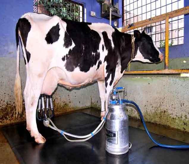 दूध काढण्यासाठी मशिनचा वापर करावा लागतो. - Divya Marathi