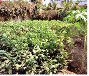 होस्टेलच्या मोकळ्या जागेत पिकलेली भाजील्याची शेती. - Divya Marathi