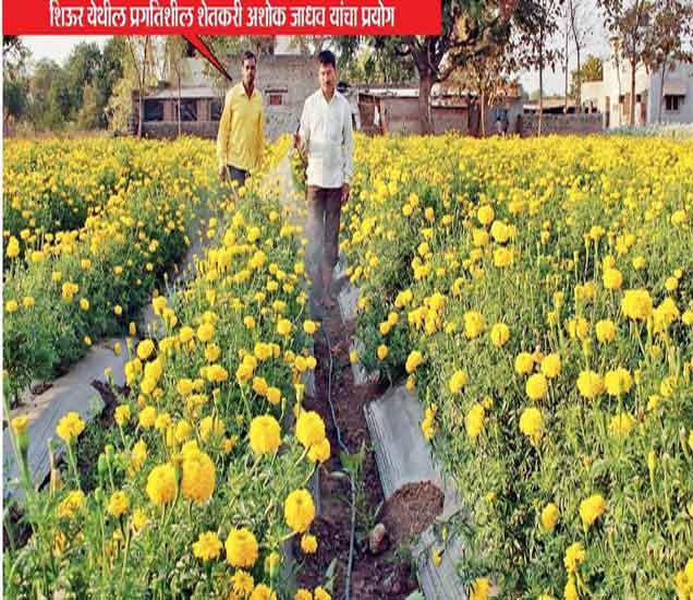 - प्रगतिशील शेतकरी अशोक जाधव यांचा प्रयोग - Divya Marathi