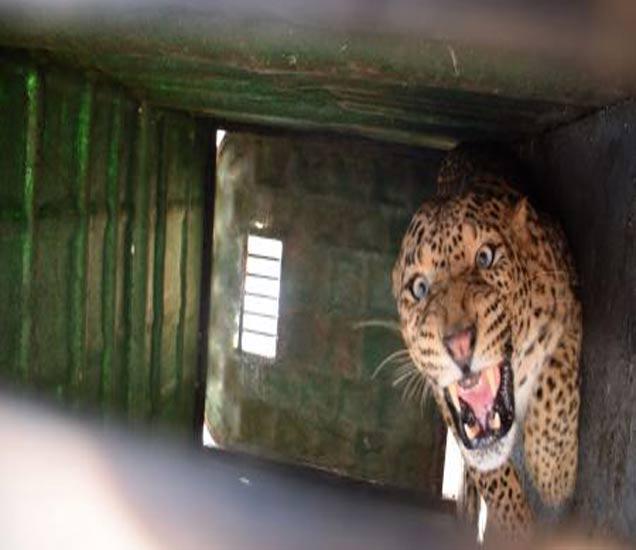 दोन दिवसांपासून परिसरात वावरणाऱ्या बिबट्याला खडांगळी येथे पिंजऱ्यात जेरबंद केल्यानंतर ताे असा अाक्रमक झाला हाेता. - Divya Marathi
