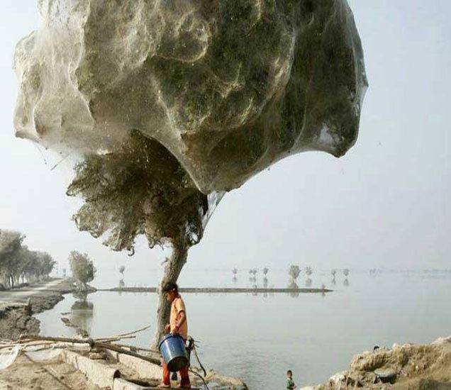 पाकिस्तानात 2010 मध्ये आलेल्या पुरानंतर, एका झाडावर कोळ्यांनी तयार केले हे विशालकाय जाळे. हा फोटो जगात सर्वत्रच चर्चेचा विषय ठरला होता. - Divya Marathi