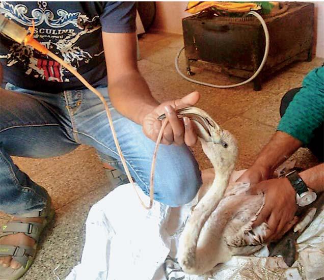दिंडाेरी परिसरात वनविभागाला उष्माघाताने मुर्च्छित पडलेला फ्लेमिंगाे अाढळून अाला. संबंधित कर्मचाऱ्यांनी पक्षीमित्र अभिजित महाले व त्यांच्या टीमकडून उपचार करून घेतले. - Divya Marathi