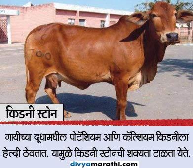 वजन कमी करण्यापासून केस दाट करण्यापर्यंत, गायीचे आहेत 10 आरोग्य फायदे...|जीवन मंत्र,Jeevan Mantra - Divya Marathi