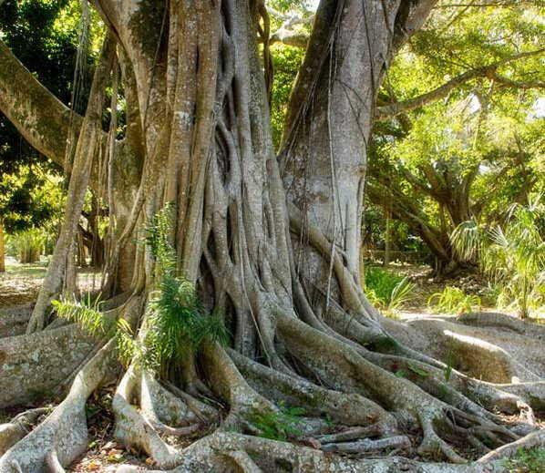 वाचा वडाच्या झाडाचे फायदे, चेहरा आणि केसांसाठी आहे उपयोगी...|जीवन मंत्र,Jeevan Mantra - Divya Marathi