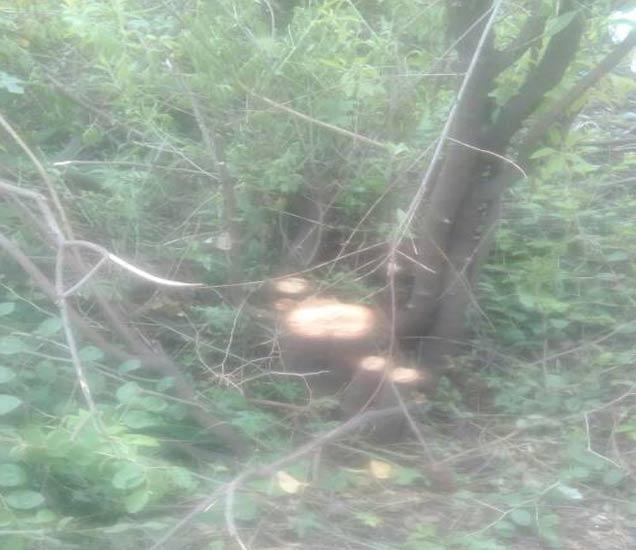 चोरट्यांनी लामरोड येथे तोडलेले चंदनाचे झाड - Divya Marathi