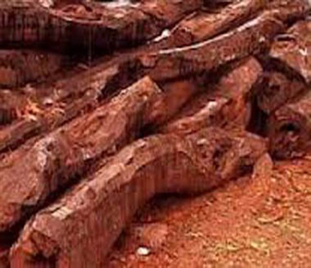 वनविभागाच्या नर्सरीमधून 5 टनरक्तचंदनाच्या लाकडाची चोरी झाली आहे. - Divya Marathi