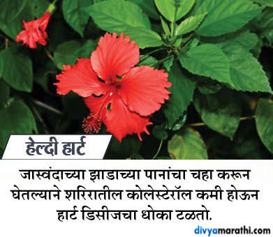 गणपती बाप्पांच्या आवडत्या फुलाचे आहेत 10 फायदे, अवश्य वाचा... जीवन मंत्र,Jeevan Mantra - Divya Marathi