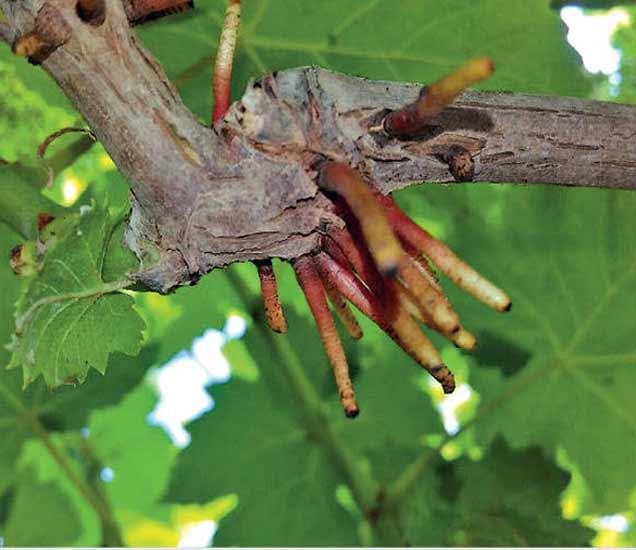 अतिपावसामुळे द्राक्षांच्या मुळांची जमिनीखालील वाढ खुंटली असून ऑक्सिजन मिळविण्यासाठी ती अशी फांद्यांवर फुटली आहेत. - Divya Marathi