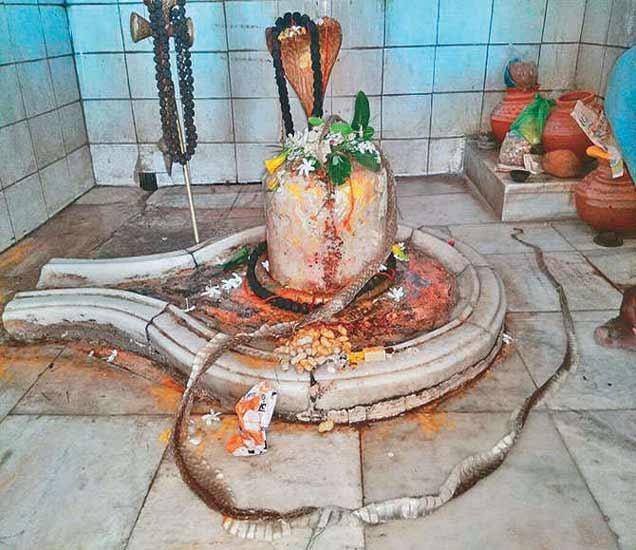 शिवलिंगाच्या आसपास अशापद्धतीने पडलेली होती 10 फुट लांब कात. - Divya Marathi
