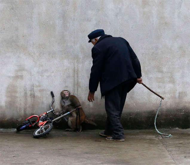 सायकल चालवण्यात अपयशी झालेले माकडाला फटके मारताना ट्रेनर... - Divya Marathi