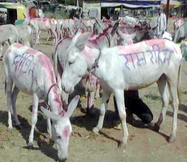 कार्तिक यात्रेत आलेल्या गाढवांची नावे राम रहीम आणि हनीप्रीत अशी ठेवण्यात आली होती. - Divya Marathi