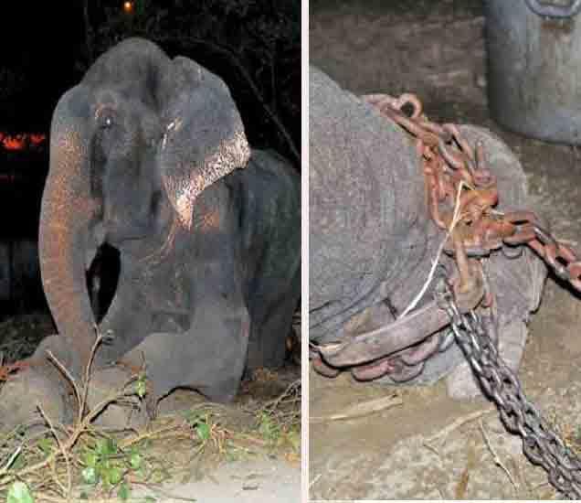 साखळदंडाने हत्तीला बांधून ठेवण्यात आले होते. - Divya Marathi