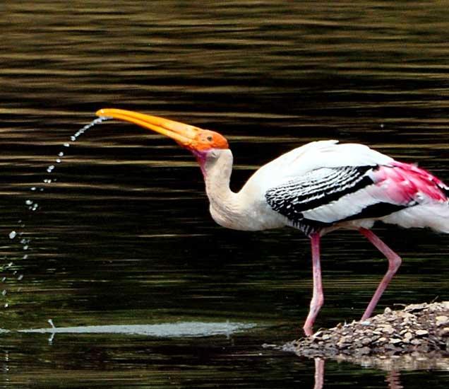 श्रीकांत बडवे यांनी रंगीत करकोचा पाणी पिताना टिपलेला क्षण - Divya Marathi