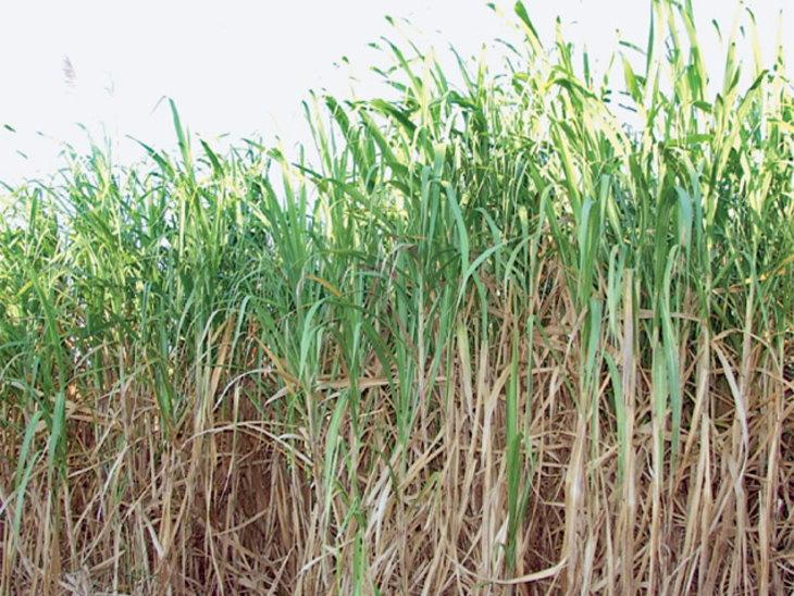 साखरेचा एमएसपी वाढवल्याने नफ्यात 3-4% वाढ; शेतकऱ्यांची थकबाकी 18 टक्के कमी करण्यास मदत मिळण्याचा विश्वास| - Divya Marathi