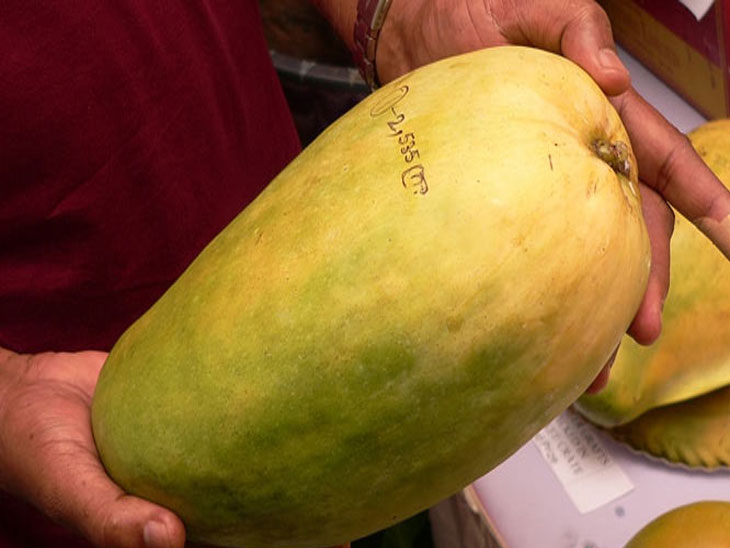 एका नूरजहां आंब्याची किंमत 500 रूपये, झाडावरून काढण्यापूर्वीच होते बुकींग|देश,National - Divya Marathi
