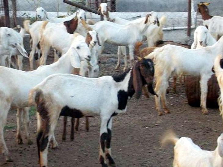 राज्यात शेळ्या आणि मेंढ्यांसाठी प्रथमच सुरू करणार चारा छावणी|मुंबई,Mumbai - Divya Marathi