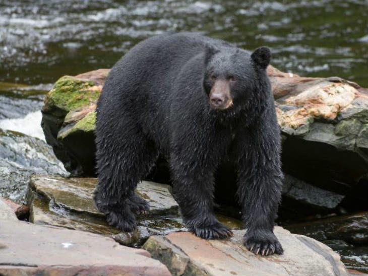 लोकांसोबत मैत्री करत होते अस्वल, अधिकाऱ्यांनी धोका असल्याचे कारण देत घातल्या गोळ्या|विदेश,International - Divya Marathi