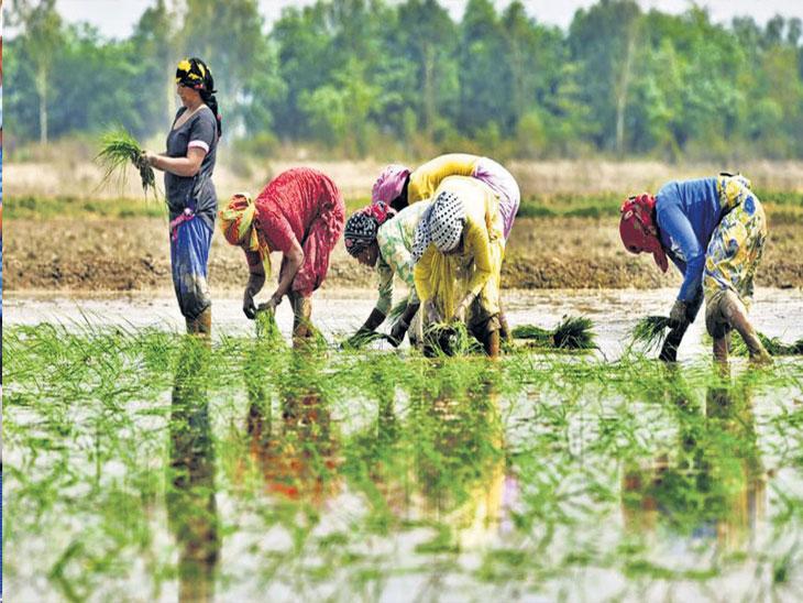 सिंचनाचे संकट : पाच वर्षांत गेल्या जूनमध्ये सर्वात कमी पाऊस, ३३ % तूट; खरिपाच्या पेरणीत २५% पर्यंत घट, कडधान्यावर परिणाम|देश,National - Divya Marathi