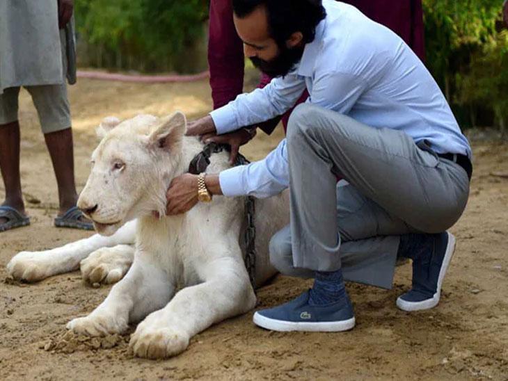 सिंह पाळणे ही पाकिस्तानात श्रीमंतांची निशानी आहे, 300 पेक्षा जास्त सिंह आहेत पाळीव| - Divya Marathi
