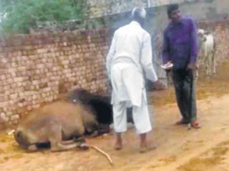 अमानवीय : गायीला काठीने मारहाण, डोळ्यात टाकली मिरचीची पुड; नंतर फरफटत गोशाळेच्या बाहेर फेकले|देश,National - Divya Marathi