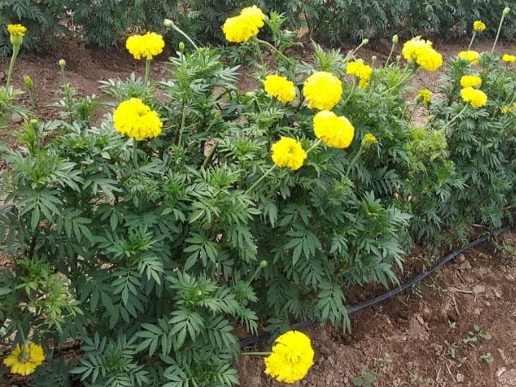 दादर बाजारपेठेत झेंडू फुलला; चांगला दर मिळत असल्याने शेतकऱ्यांचे दुष्काळात होतेय चांगले अर्थार्जन|सोलापूर,Solapur - Divya Marathi
