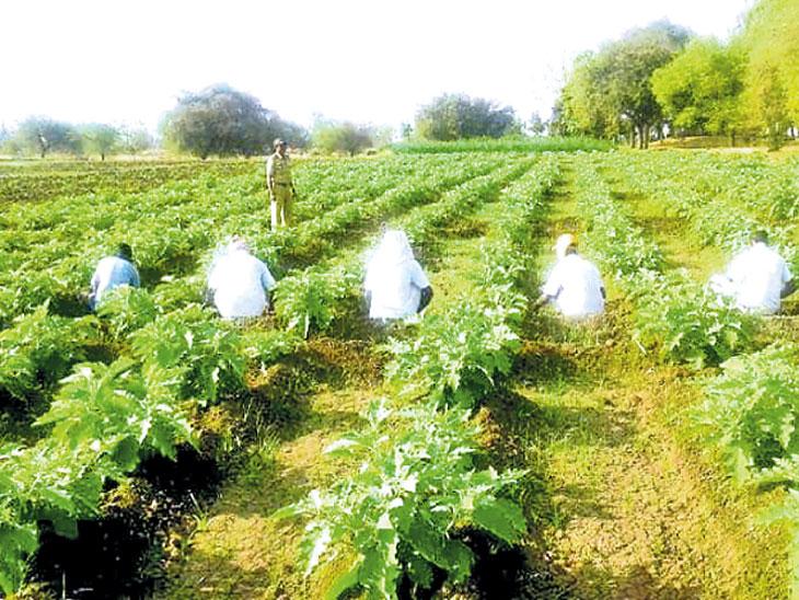 राज्यभरातील हजारो कैद्यांनी शेतीत घाम गाळून घेतले साडेतीन कोटींचे उत्पादन!| - Divya Marathi