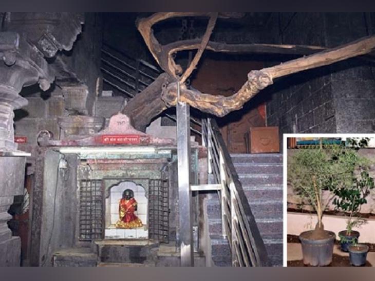 90 वर्षांनंतर पंढरपूरच्या मंदिरात नव्याने लागणार कान्हाेपात्रेचे झाड सोलापूर,Solapur - Divya Marathi