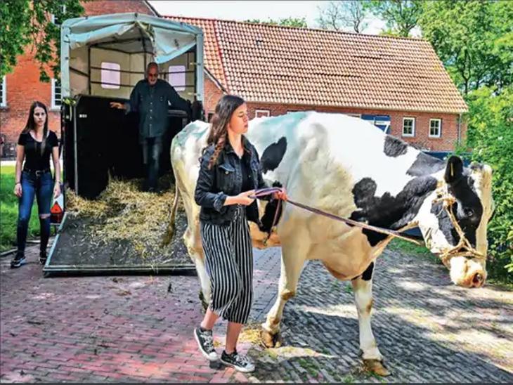 जर्मनीत गोवंशासाठी रिटायरमेंट होममध्ये काम करण्याची गरज नाही, केवळ खाणे-पिणे आणि देखभालीवर भर!|विदेश,International - Divya Marathi