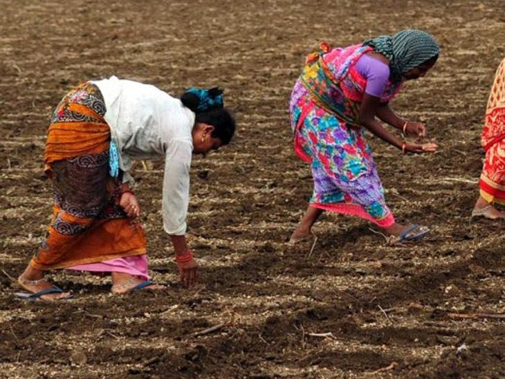 शेतकरी संघटनेचा सविनय कायदेभंग; राज्यात 10 लाख हेक्टरवर प्रतिबंधित एचटीबीटीची लागवड नागपूर,Nagpur - Divya Marathi