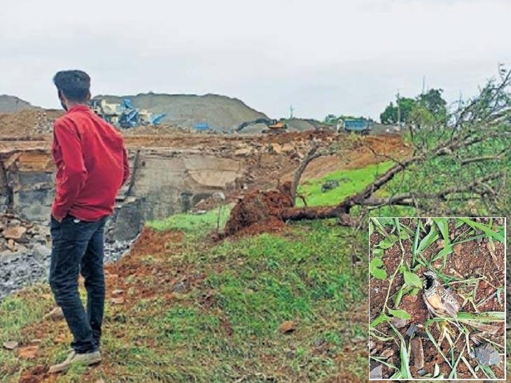 स्फोटाची तीव्रता इतकी होती की खदानीच्या बाजूला असलेले मोठे झाड उन्मळून पडले व पक्ष्यांना दगड लागून त्यांचा मृत्यू झाला. - Divya Marathi
